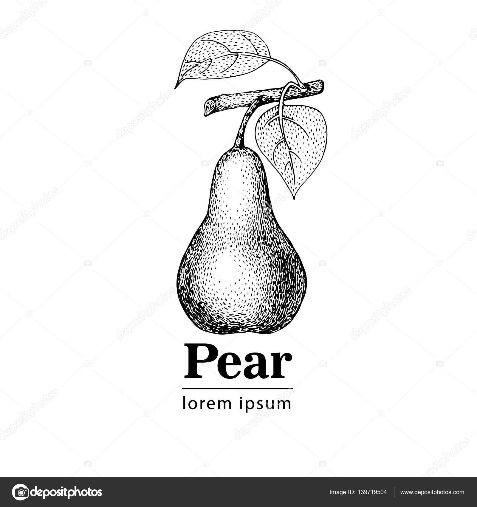 Pera, Vintage Grabado Ilustración