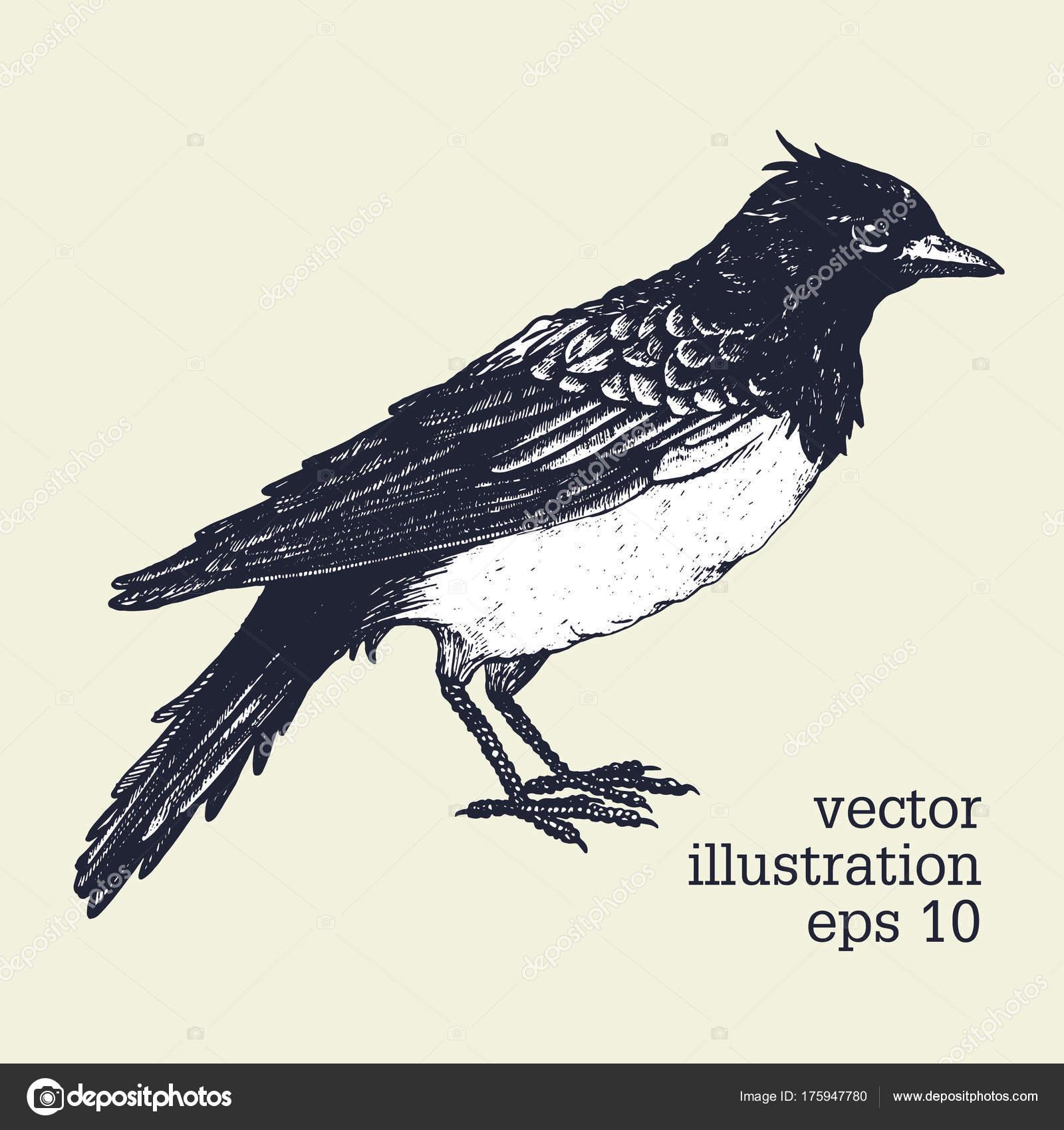 鳥のベクトル グラフィック イラストひばりは手描き下ろし