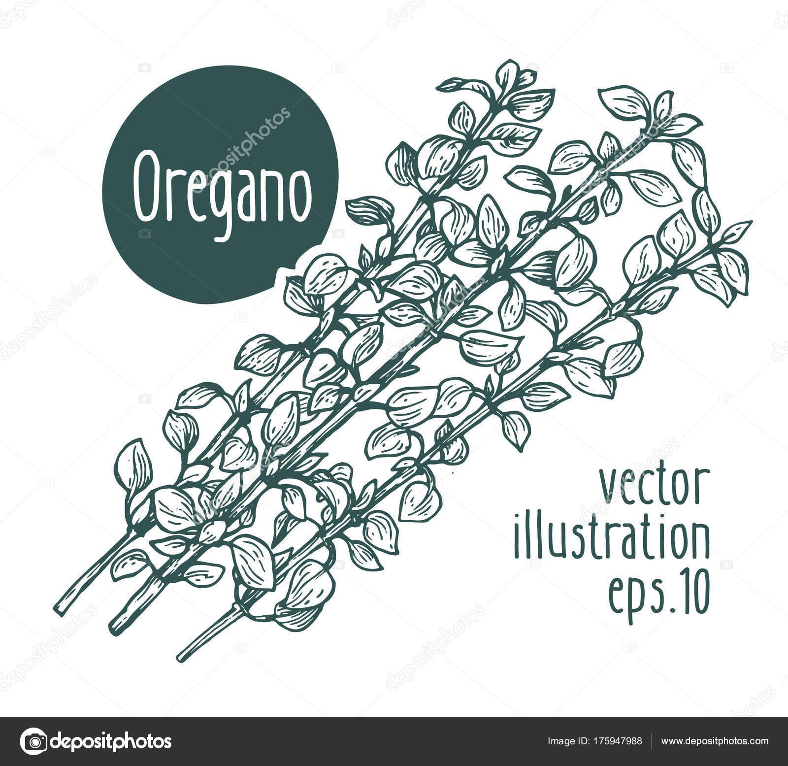 Rama de orégano. Ilustración de vector para el menú de diseño ...