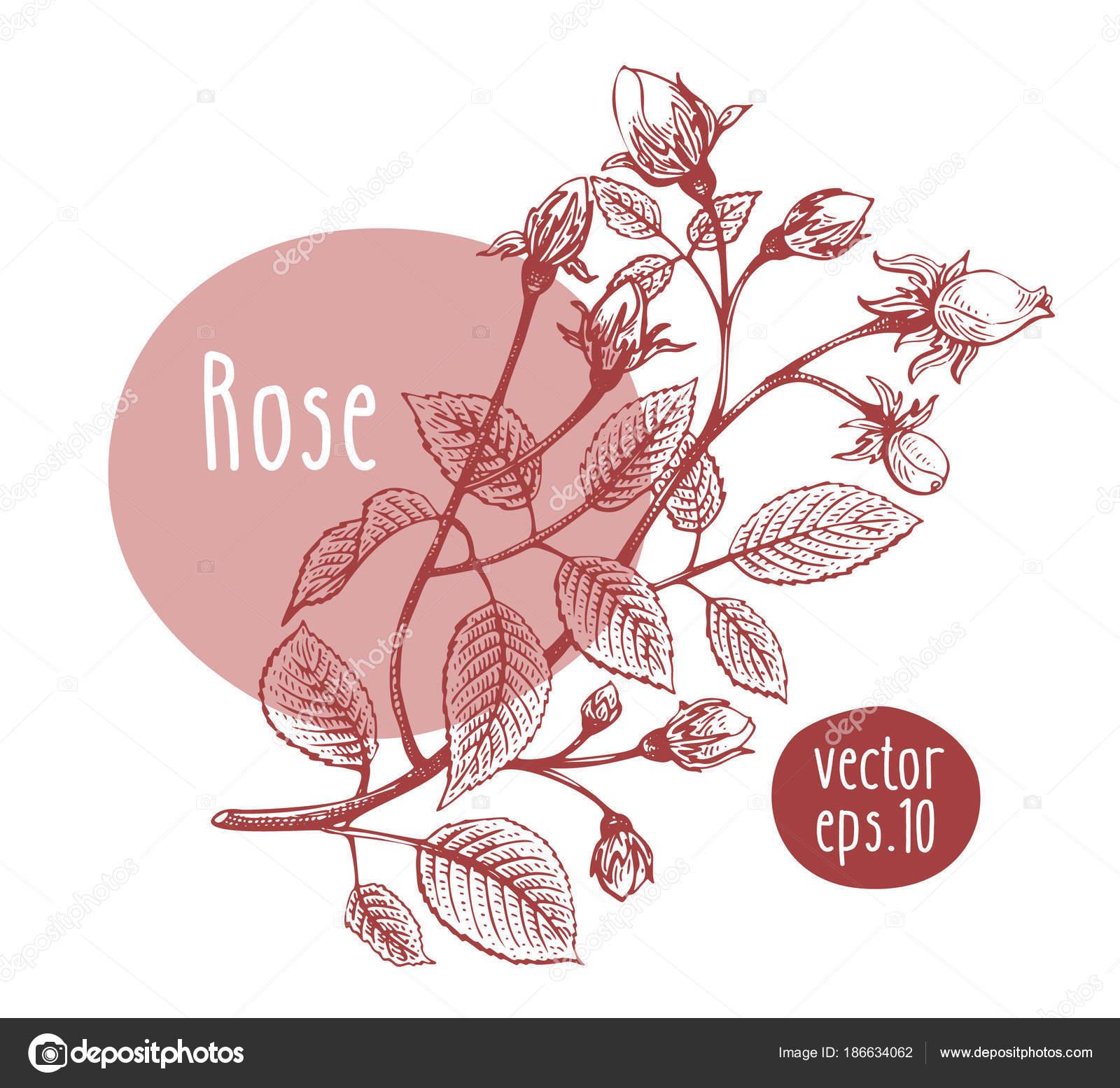 Hand Drawn Vintage Rose Vector Blooming Flower Botanical