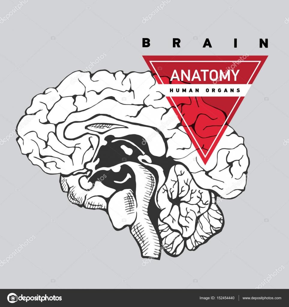 Anatomie des Gehirns. Menschlichen — Stockvektor © oxygen_8 #152454440
