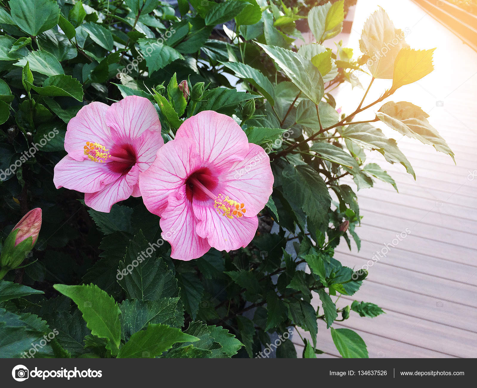 Two Beautiful Hibiscus Flowers In The Evening Time Stock Photo
