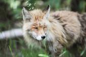 liška v létě hokkaido