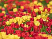 Tavaszi tulipán kert