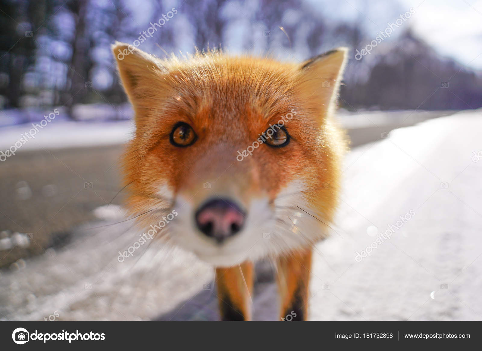Fuchs Winter Hokkaido Stockfoto C Makieni777 181732898