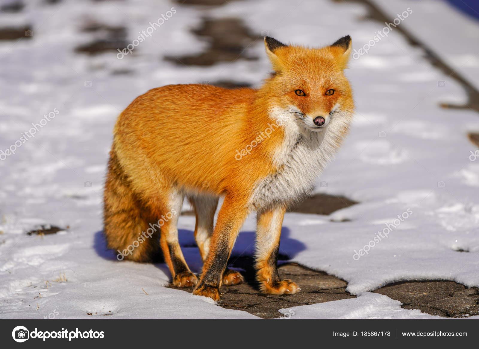 Fuchs Winter Hokkaido Stockfoto C Makieni777 185867178