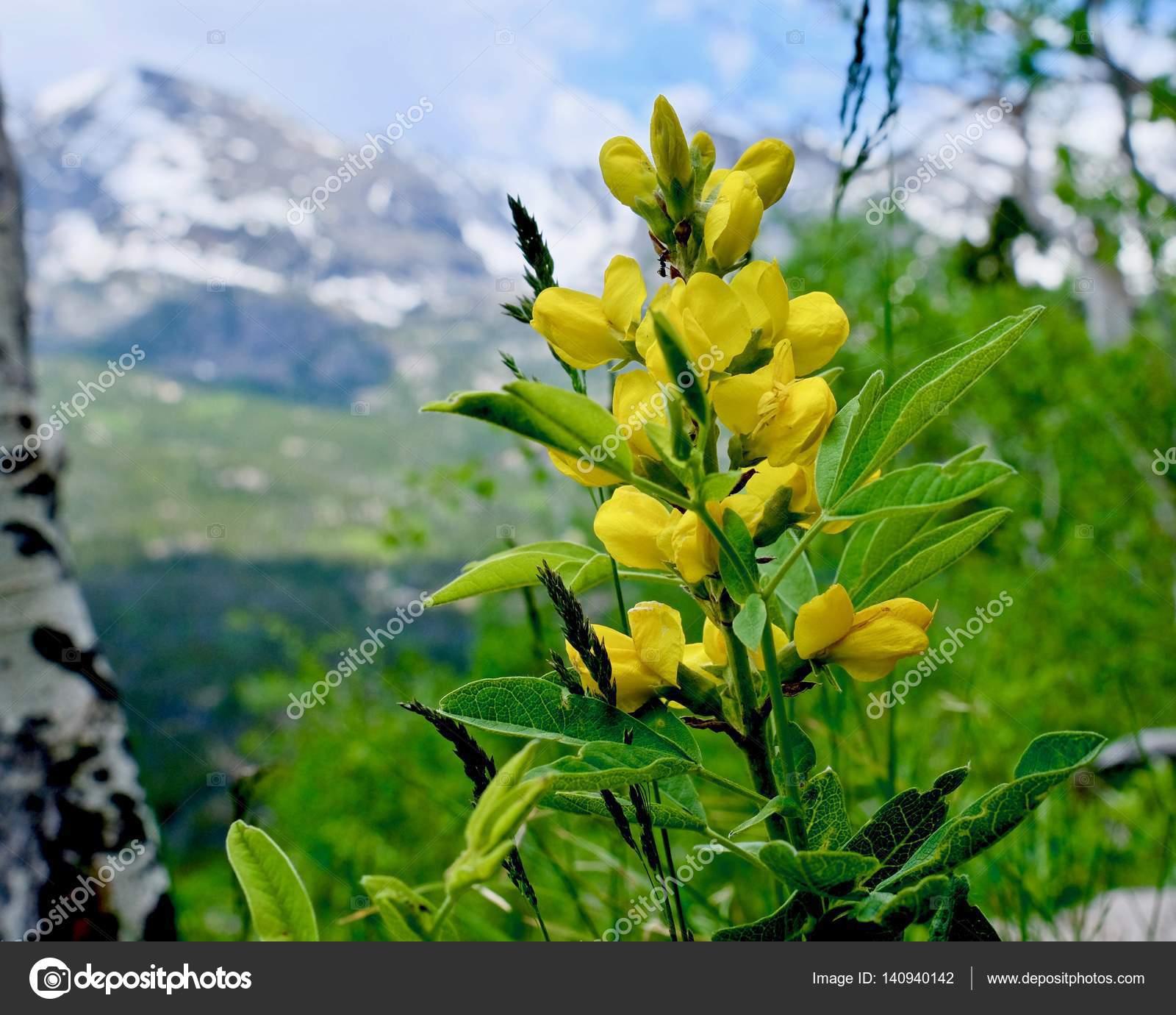 Fleurs Jaunes Sauvages Du Colorado Photographie Marinapoushkina