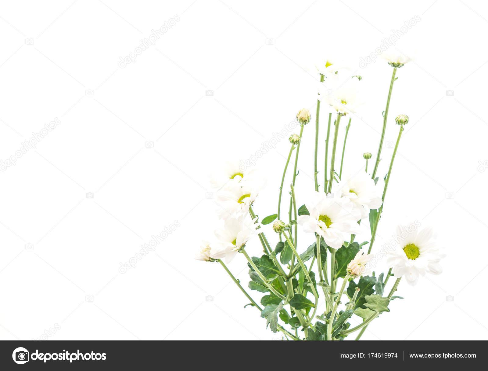 White mum flowers stock photo topntp 174619974 white mum flowers stock photo mightylinksfo