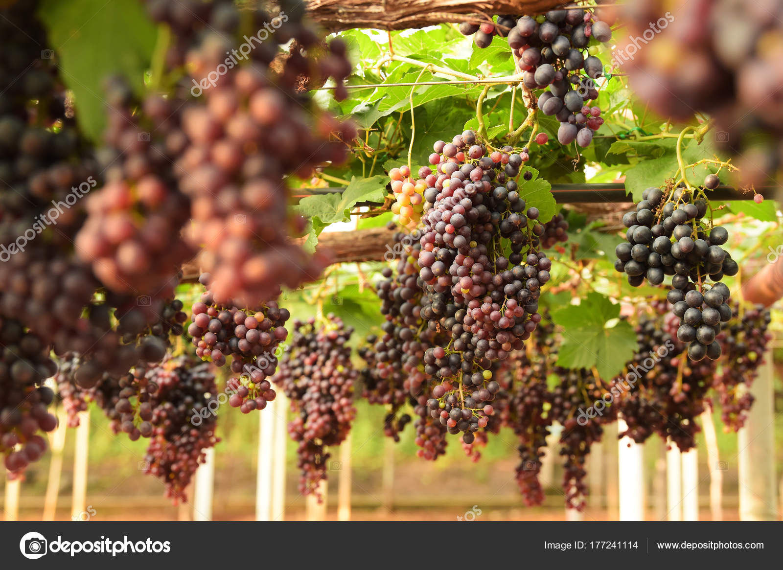 Red Ripe Grapes Garden — Stock Photo © aei_cei@hotmail.com #177241114