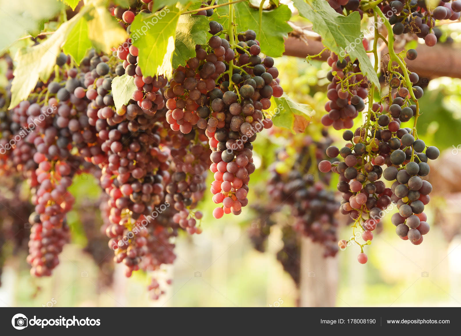 Red Ripe Grapes Garden — Stock Photo © aei_cei@hotmail.com #178008190