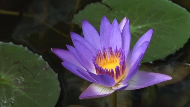 Egy tálba, Penang lila lótuszvirág
