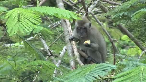 Dlouho sledoval makaků na jihu Bali, Indonésie