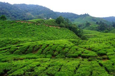 tea plantations On the Moutain