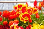 Tavaszi háttér színes tulipán virágok a kertben