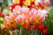gyönyörű virágzó tulipán, közelről lövés