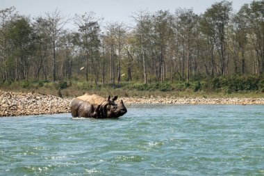 An endangered one horned rhinoceros in the Chitwan National Park in Nepal.