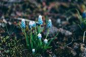 Photo Spring flowering Muscari Valerie Finnis