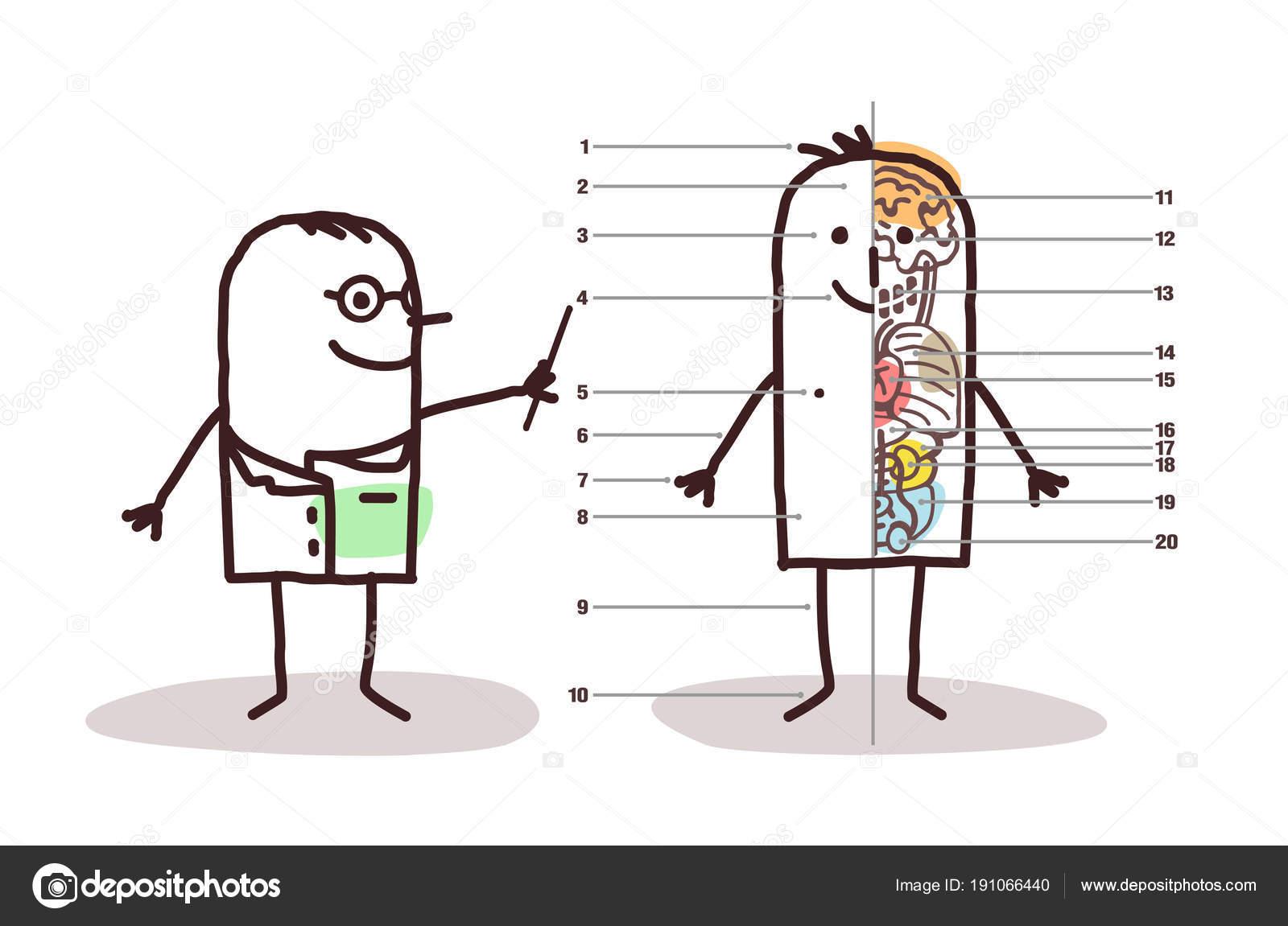 Cartoon-männliche Anatomie-Lektion — Stockvektor © NLshop #191066440