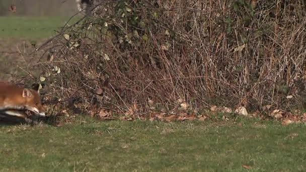 Red Fox running on Grass