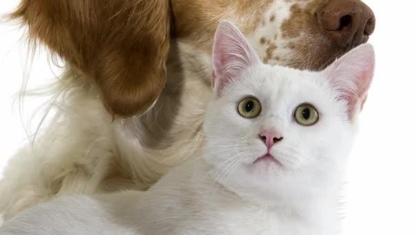 Francouzský Španěl pes s bílou kočkou