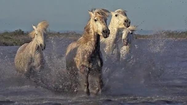vad futó Camargue lovak