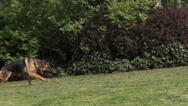 Domácí pes, německý ovčák, žena běží na trávě, pomalý pohyb