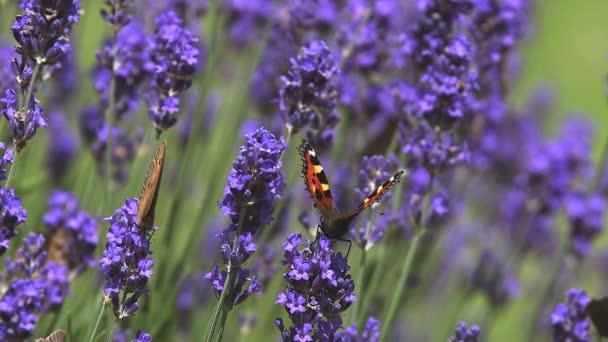 Gatekeeper Butterfly gathering Nectar