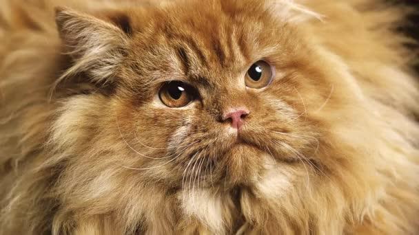 Červená perská kočka domácí