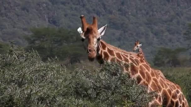Žirafa Rothschildova jíst listy
