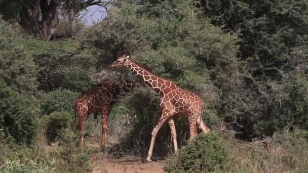 Hálós zsiráf Bush séta