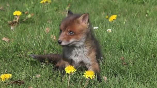 Red Fox Pup auf Rasen spielen