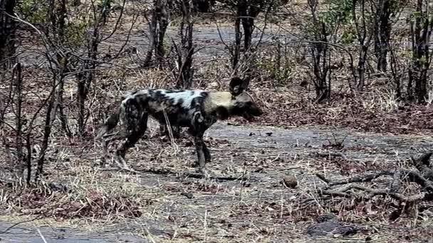 African Wild Dog, lycaon pictus, Moremi Reserve, Okavango Reserve in Botswana, Slow motion