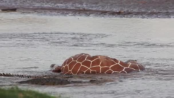Nile Crocodiles on a Kill