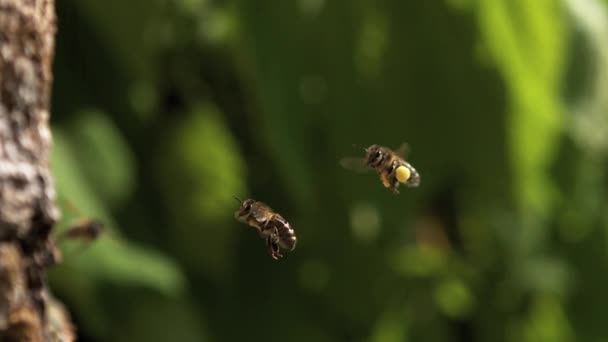 European Honey Bees