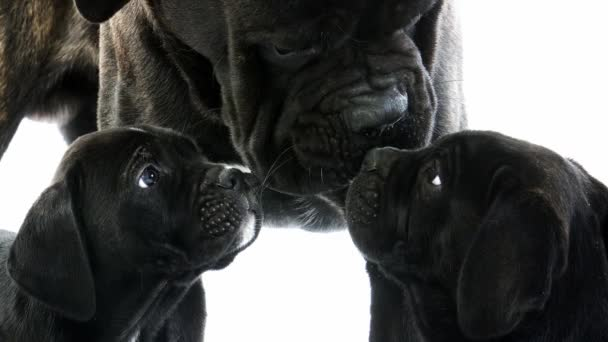 Cane Corso, a Dog Breed from Italy, Mother and Pups against White Background, Real Time 4K, Moving image