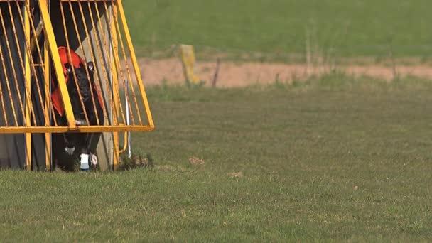 Cane del levriero, adulto in piedi nella casella e in esecuzione durante la gara, rallentatore