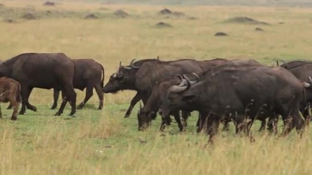 African Buffalo, syncerus caffer, Herd walking through Savanna, Nakuru Park in Kenya, Real Time