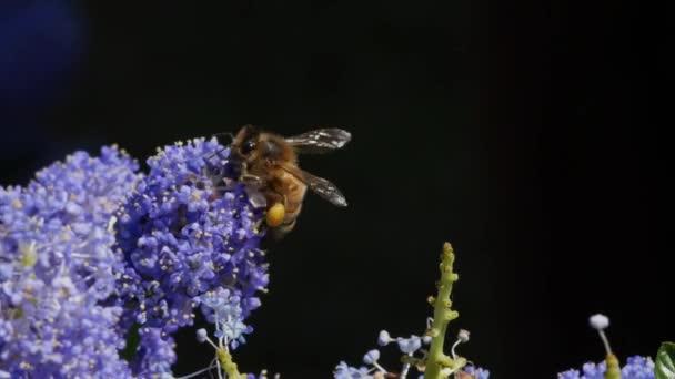 Med včelí květ