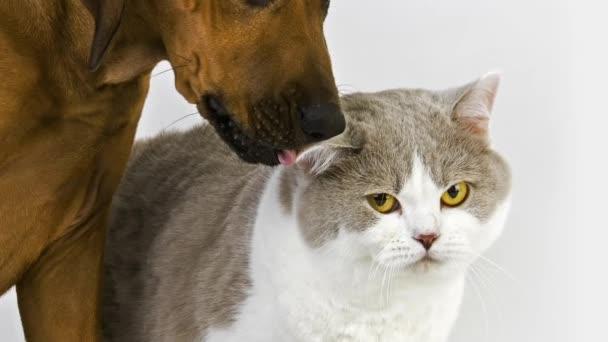 British Shorthair Cat with a Rhodesian Ridgeback Puppy