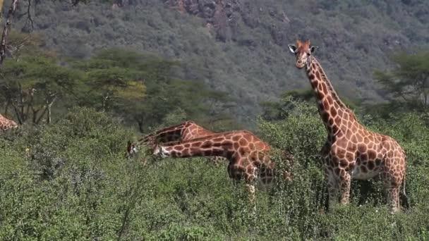 Rothschilds Giraffes eating Bush