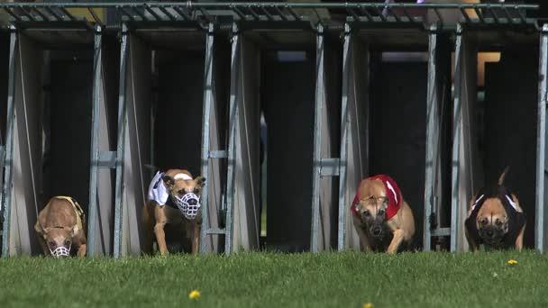 Whippet-Hund, Erwachsene stehen im Karton und rennen während des Rennens, Zeitlupe