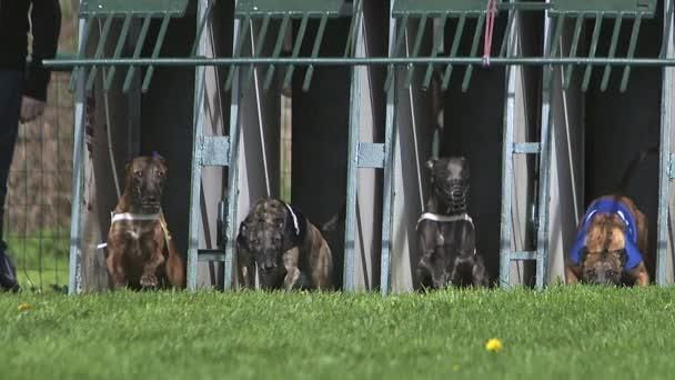 Cane di Whippet, adulti in piedi in scatola e in esecuzione durante la gara, Slow motion