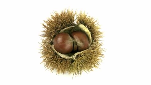 Kaštanové Bur, castanea sativa, ovoce proti bílé pozadí, reálném čase 4k, Moving image