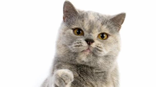 British Shorthair Domestic Cat