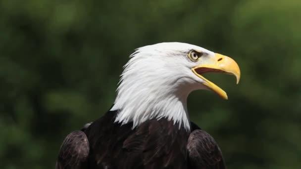 Bald Eagle és felszállás