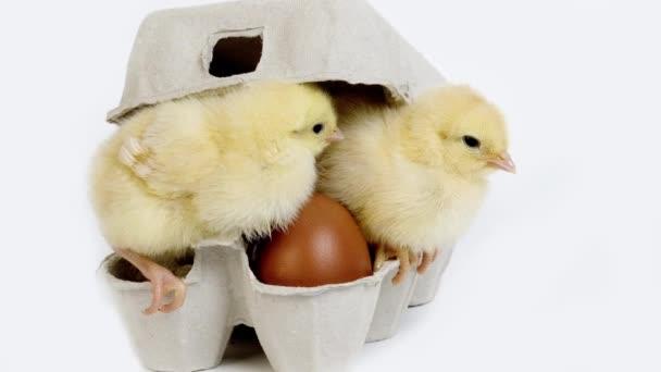 Chicks in Eggbox against White