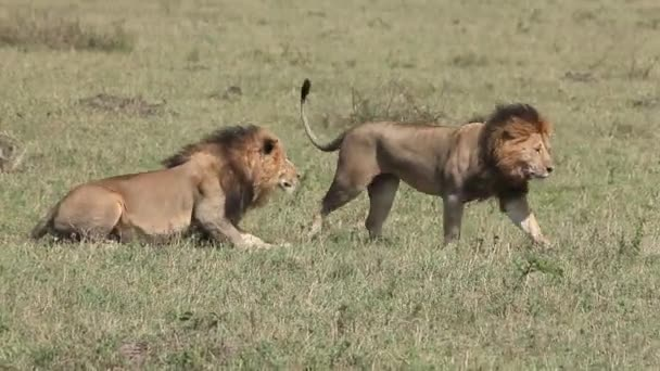 Leoni africani a piedi attraverso la savana