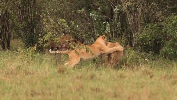 African Lions, Cubs playing