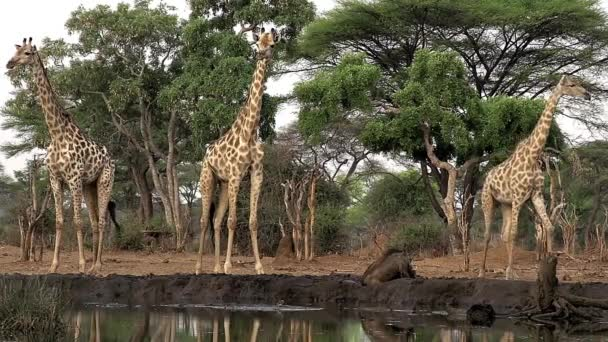 jihoafrický žirafy