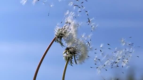 Společné pampelišky, semena foukané